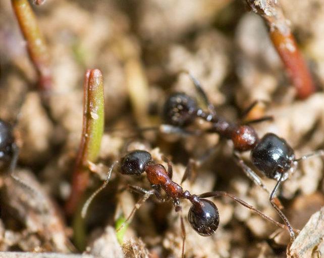 Влияние муравьев жнецов на эволюцию кормовых растений.