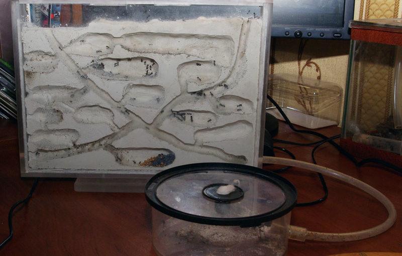 Инструкция по содержанию Красногрудых Жнецов  ( Messor denticulatus) в домашних условиях.