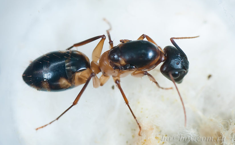 Пятнистые гиганты. Camponotus maculatus.