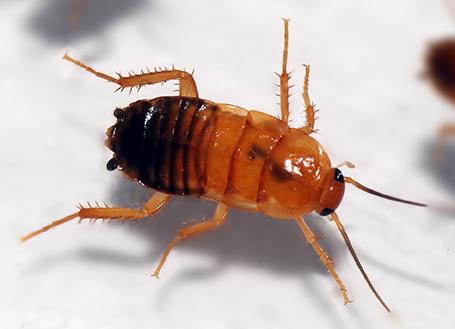 Туркменский таракан.