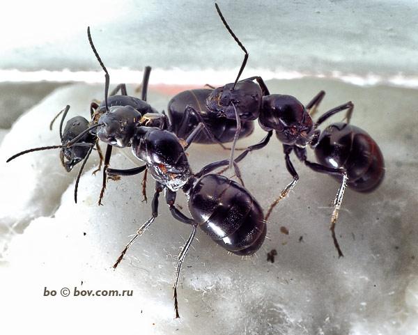 Бегунки ( Cataglyphis aenescens). Рождение новой семьи.