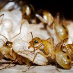 муравьиные ясли, нянька Camponotus maculatus за работой