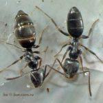 Tapinoma erraticum — Мypавей блyждающий