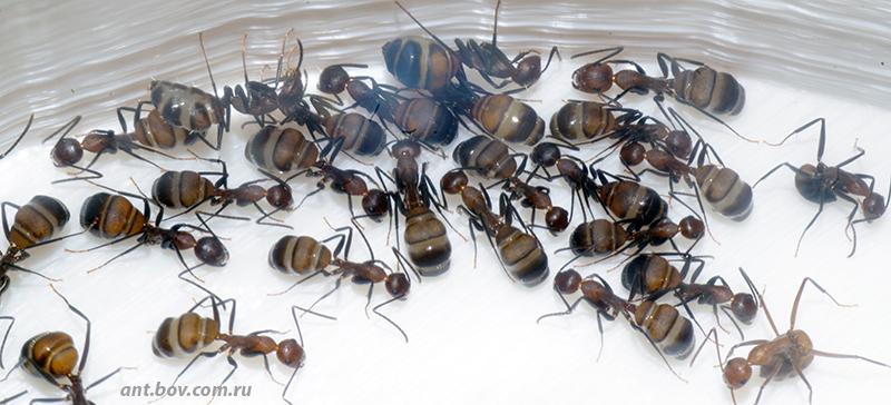 Camponotus nicobarensis, не убиваемые…
