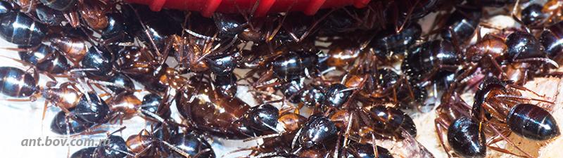 8 марта начало сезона.Camponotus fallax.
