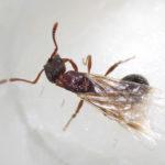 Myrmica stangeana Ruzsky