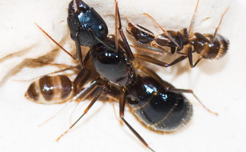 Симпатяги — Camponotus pseudoirritans